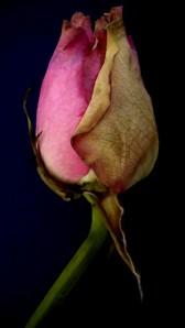 Dead roses?