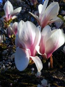 magnolia close